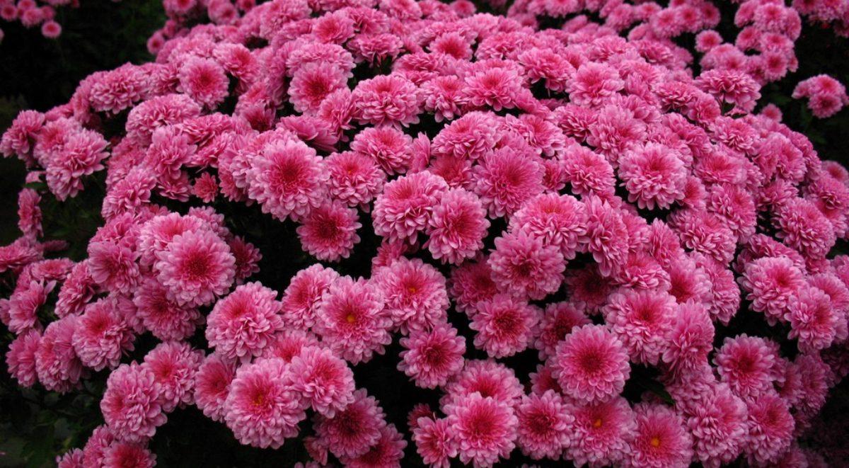 Buy A Bedford Azaleamum Bedfords Official Flower The Bedford